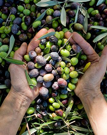 mani che raccolgono le olive