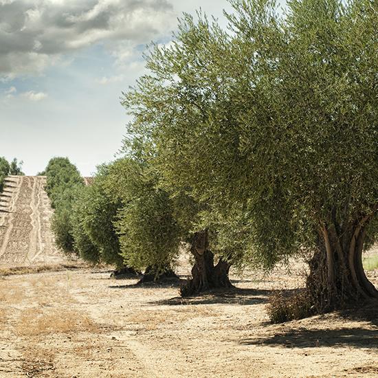 coltivazione-oliveto