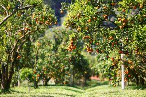 frutteto di arance